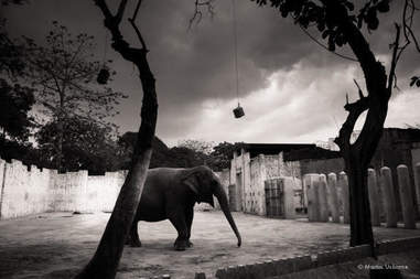 Mali the elephant in her concrete enclosure at the Manila Zoo