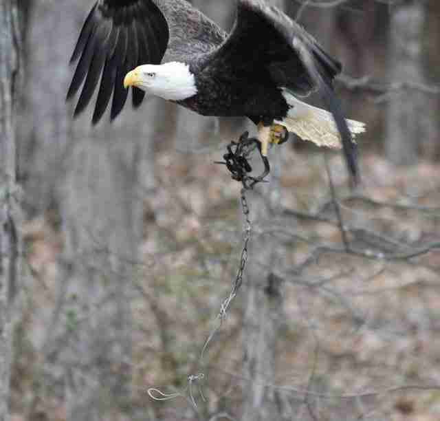 bald eagle caught in trap