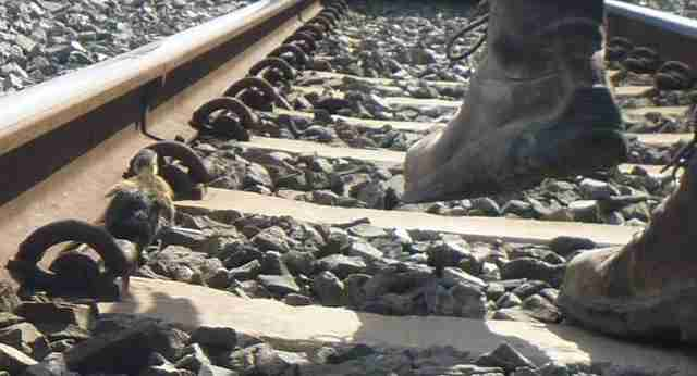 6 ducklings rescued from train tracks