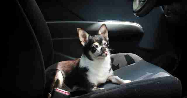chihuahua riding in car