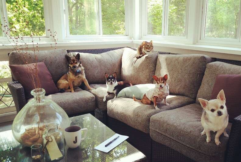 Rescued chihuahuas on couch