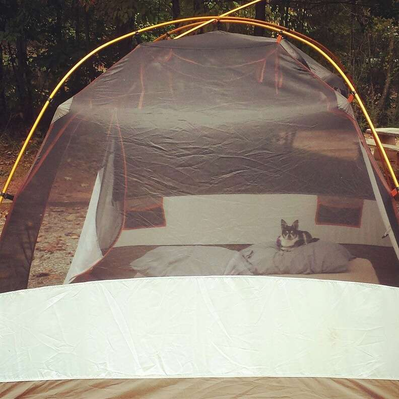 chihuahua inside tent