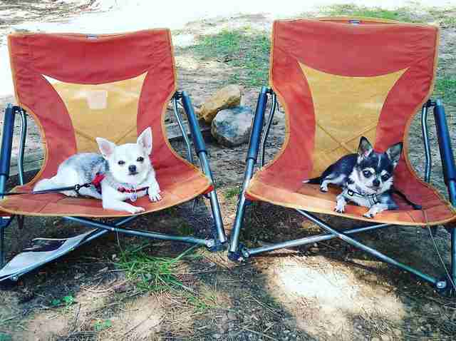 chihuahuas on camping chairs