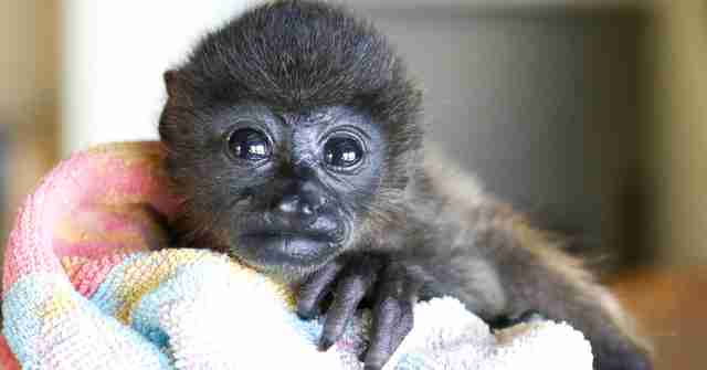 Orphaned howler monkey at rescue center