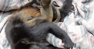 Howler monkey in Costa Rica with her dying mom
