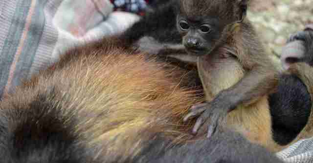 Howler monkey clutching onto her electrocuted mother