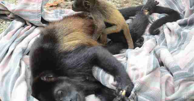 Baby howler monkey holding her dead mom's body