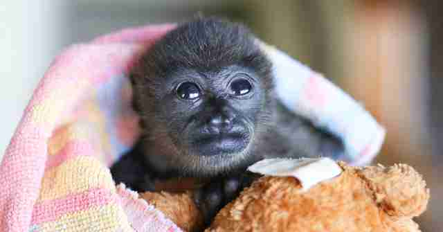 Rescued orphaned howler monkey gets teddy bear