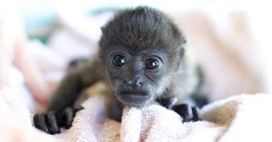 Orphaned howler monkey recovering at rescue center
