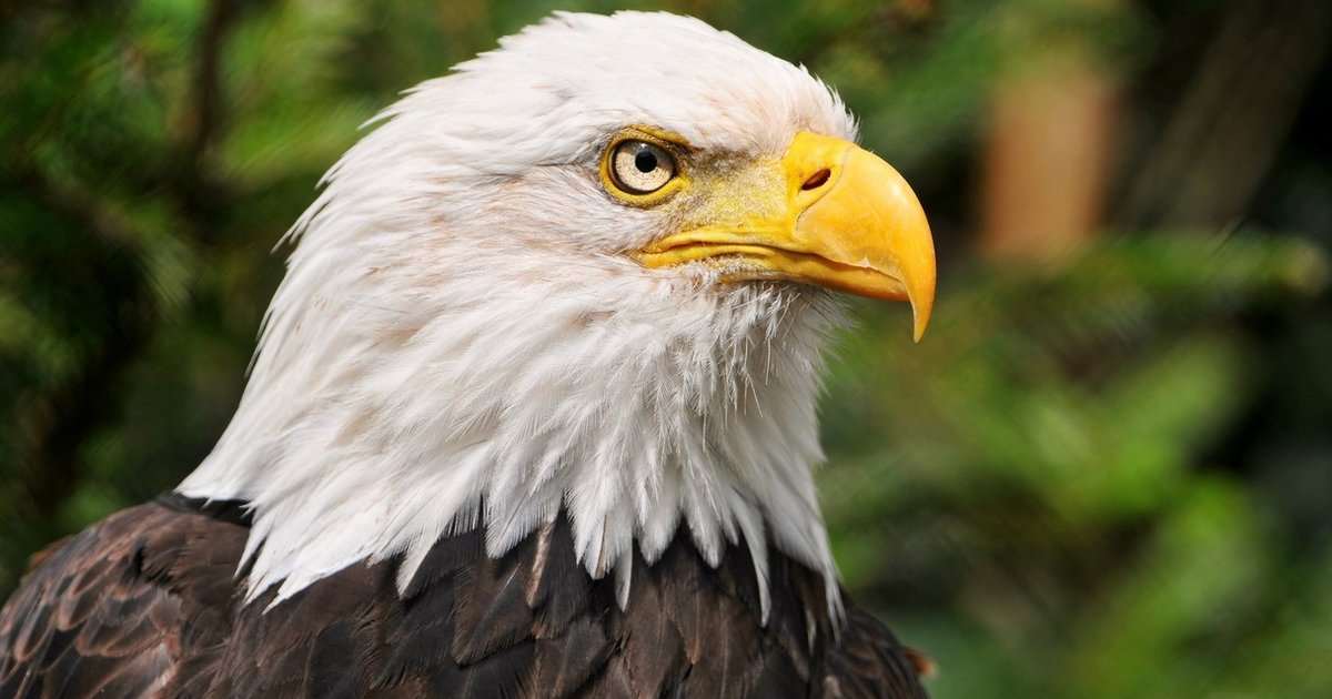 13 Things Every American Should Know About Bald Eagles The Dodo