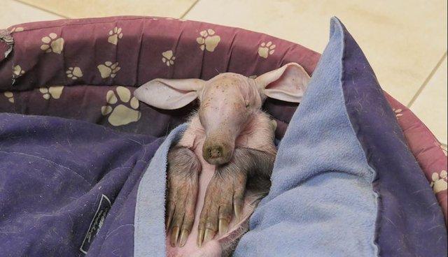 Rescued Baby Aardvark Loves Sleeping In Dog Beds The Dodo