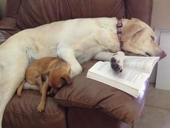 Yellow lab who allows chihuahua to sleep on top of her