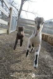 Rescued baby goats at Farm Sanctuary