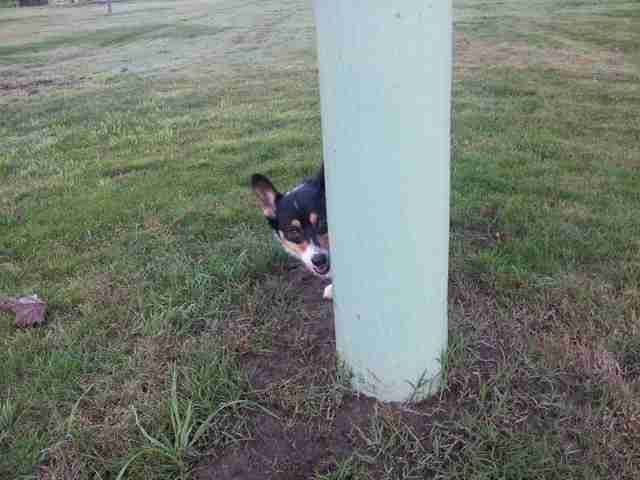 corgi is an expert at hide and seek
