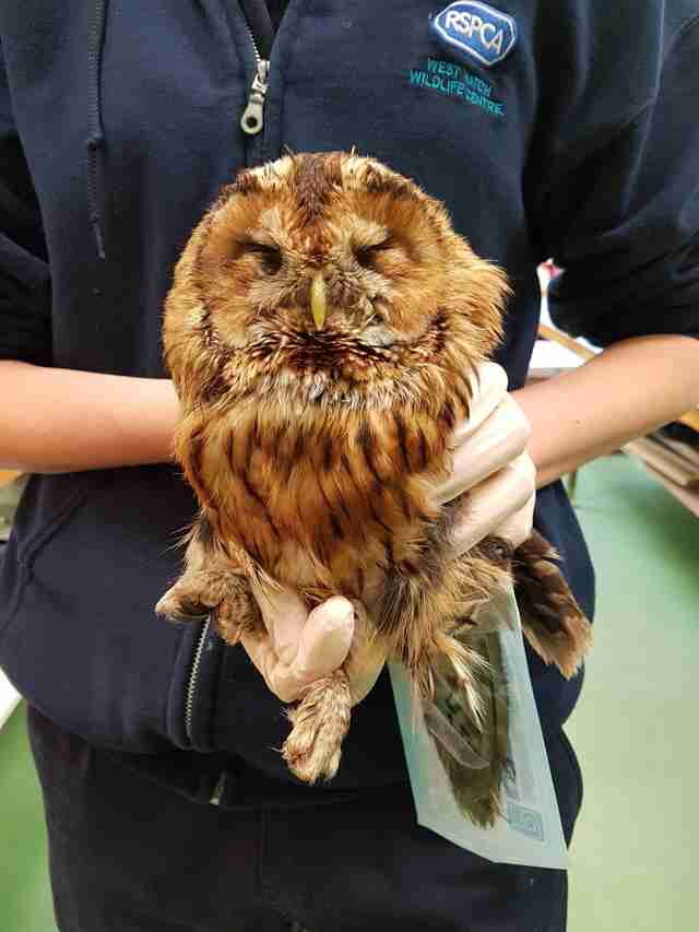 owl gets caught in glue trap