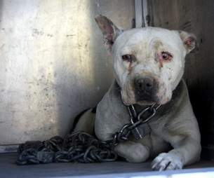 Dog tethered with a heavy chain
