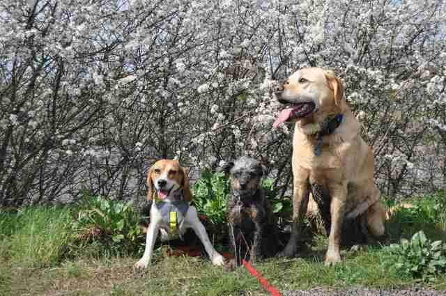 A rescue beagle and her two dog friends
