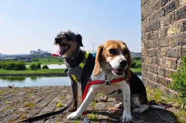 A rescue beagle and her terrier friend
