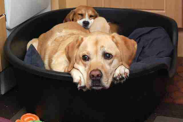 A rescue beagle with her Labrador friend