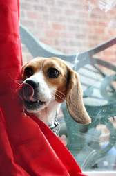 Beagle puppy rescued from research lab