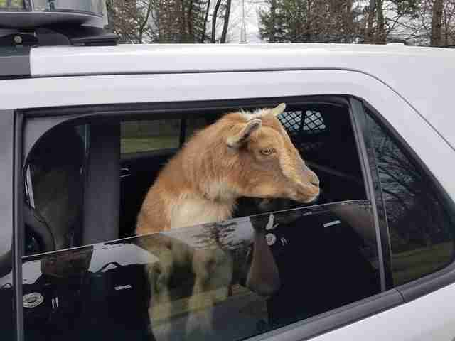 Police pick up goats in car