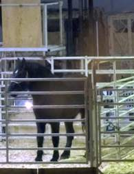 Horse in holding pen during export to Japan