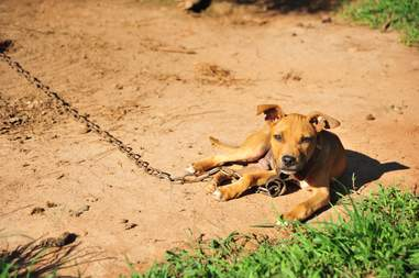 Dog on chain at dog fighting operation