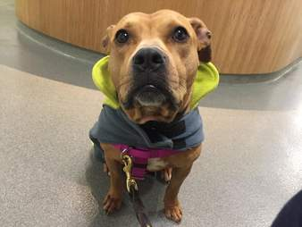 Pit bull saved from dog fighting ring