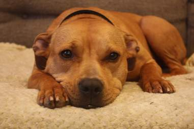 Dog rescued from dog fighting in foster home