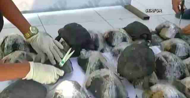 Galapagos tortoises being illegally trafficked