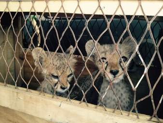 Cheetahs confiscated from traffickers in Somaliland