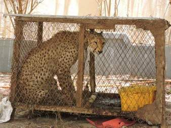 Cheetah confiscated from traffickers in Somaliland