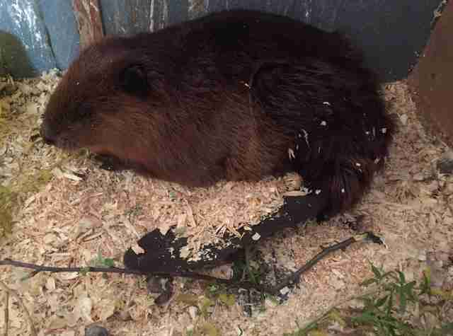 chubby beaver gets stuck in fence