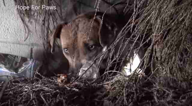 pit bull and puppies rescued during rainstorm