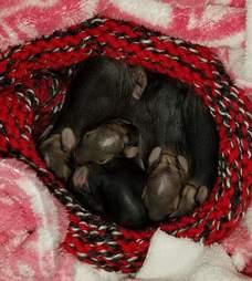 Rescued cottontails at rehabilitation center