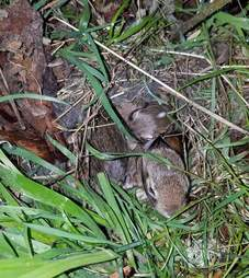 Rescued cottontails in adoptive nest