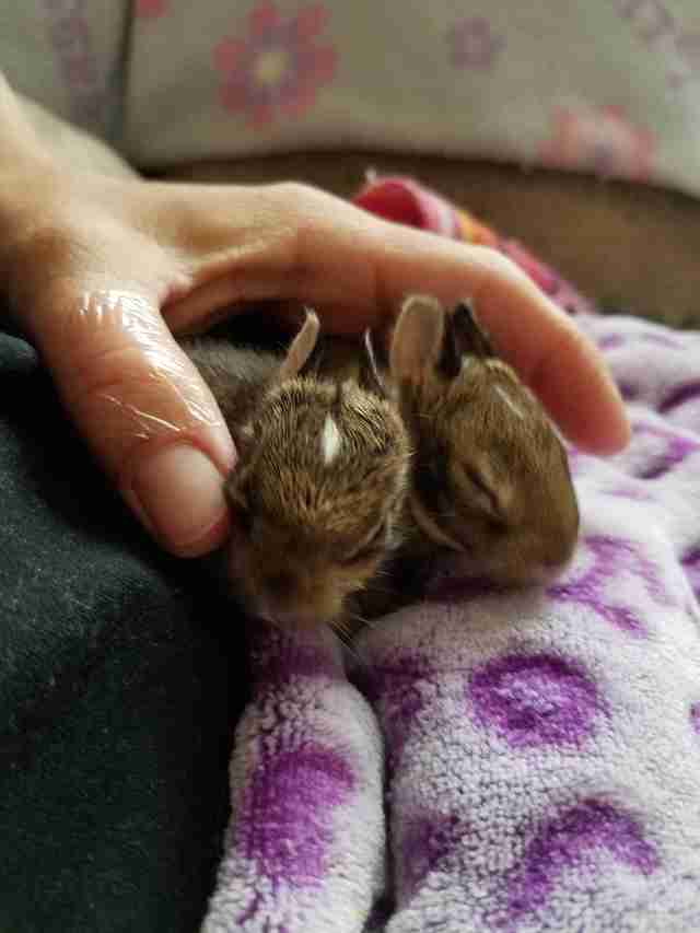 Rescued cottontails at rehabilitation center