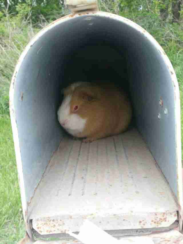 guinea pig found in mailbox