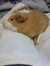 guinea pig found in mailbox
