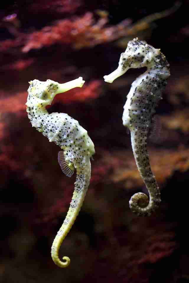 Pair of wild seahorses