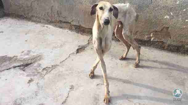 Emaciated greyhound saved from neglect in South Africa