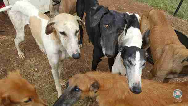 Starving greyhounds saved from neglect in South Africa