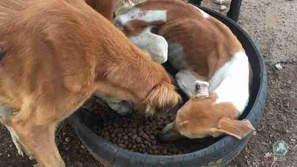 Weak greyhound lies down in food dish after getting rescued from neglect