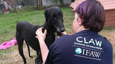 Greyhound getting saved from neglect case after being used for hunting