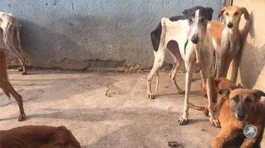 Starving greyhounds saved from hunting