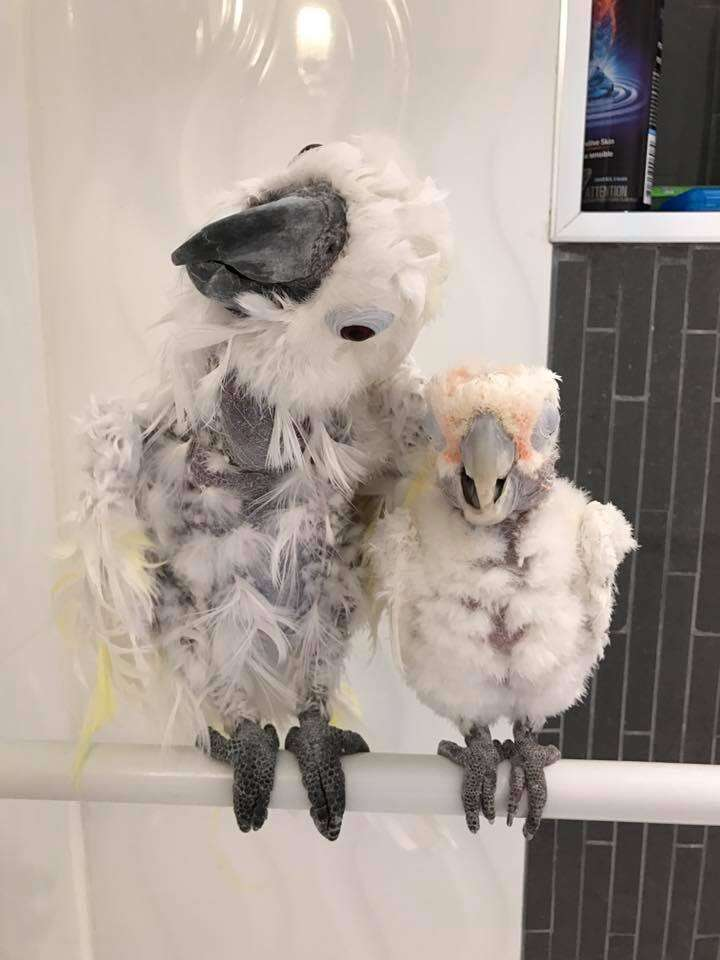 Cockatoos rescued from neglect