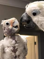 Rescued cockatoos comfort each other