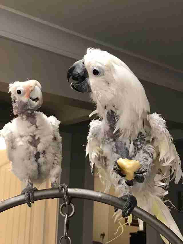 Cockatoo best friends rescued from neglect