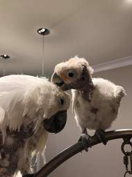 Rescued cockatoos grooming each other