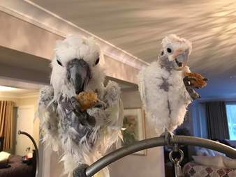 Cockatoos rescued from refuged forced to close